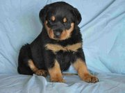 fantastic Rottweiler Puppies