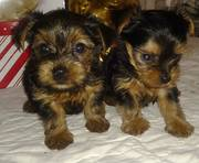 TEACUP YORKIE YORKSHIRE TERRIER PUPPPY